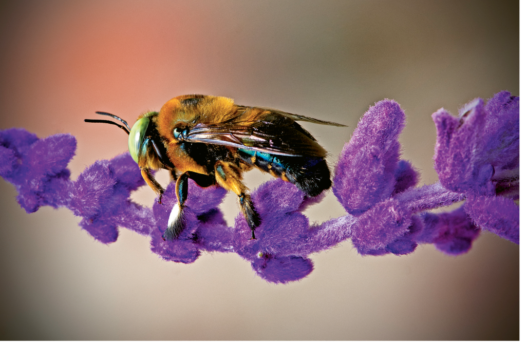 Carpenter Bee on Purple Flower  Photographer: Thomas J. Baccari  Where: Brookgreen Gardens