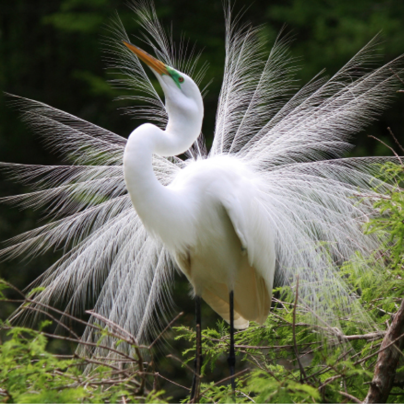 Joyful Egret Paulette Thomas  Waccatee Zoo, Myrtle Beach