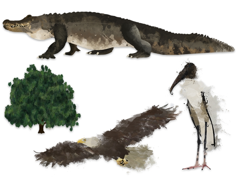 Some of the most common wildlife at the center: (Clockwise from left to right) - American alligator, Alligator mississippiensis; Wood stork, Mycteria americana; Bald eagle, Haliaeetus leucocephalus; Live Oak, Quercus virginiana.