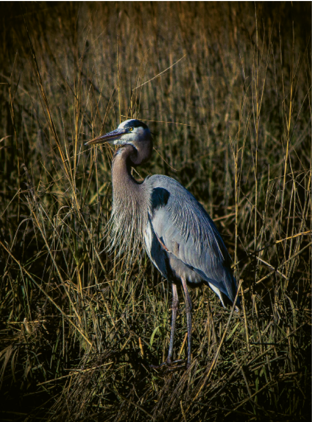 Blue Heron Hunter Amy Vincent Huntington Beach State Park, Murrells Inlet