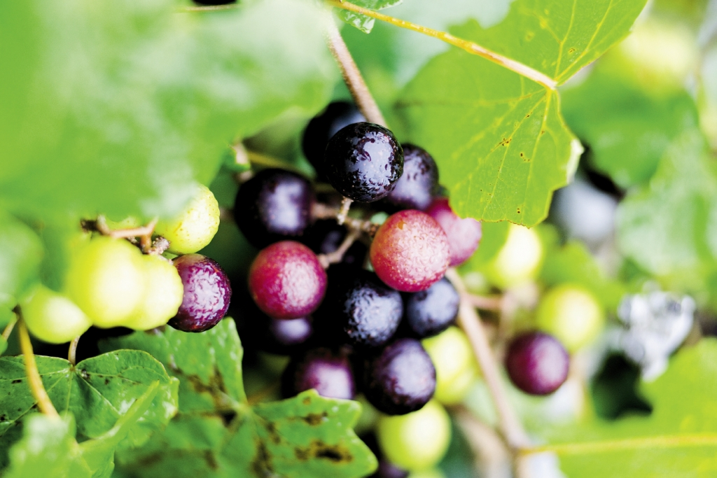 Grape of Many Colors:<br />You'll see the colors of the rainbow represented within the some 300 varieties of muscadine, from pale gold to deep purple, all thanks to abundant Southern sunshine.
