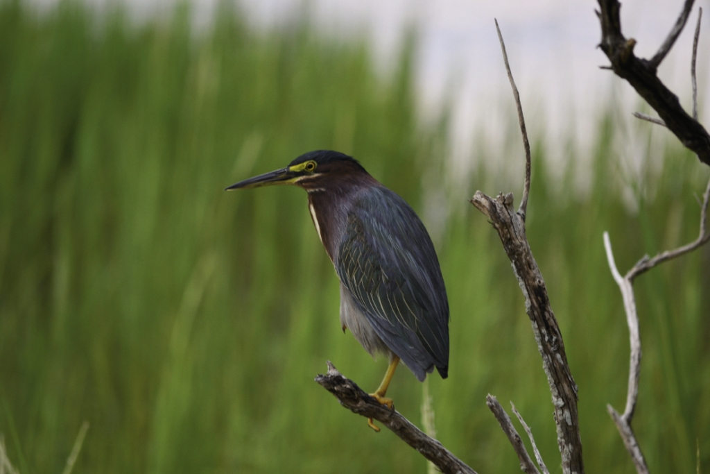 Like a sentry standing guard, the Baby Blue Heron surveys the colony.