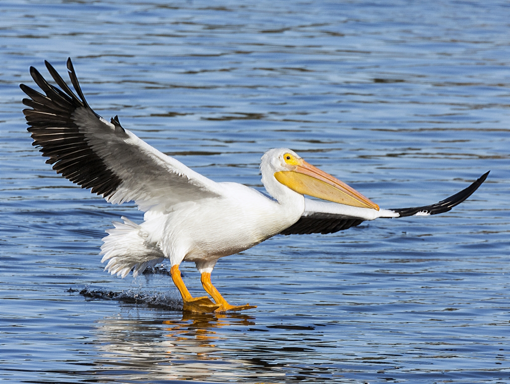 American White Pelican, Photographer: Leslie Nolan Where: Huntington Beach State Park