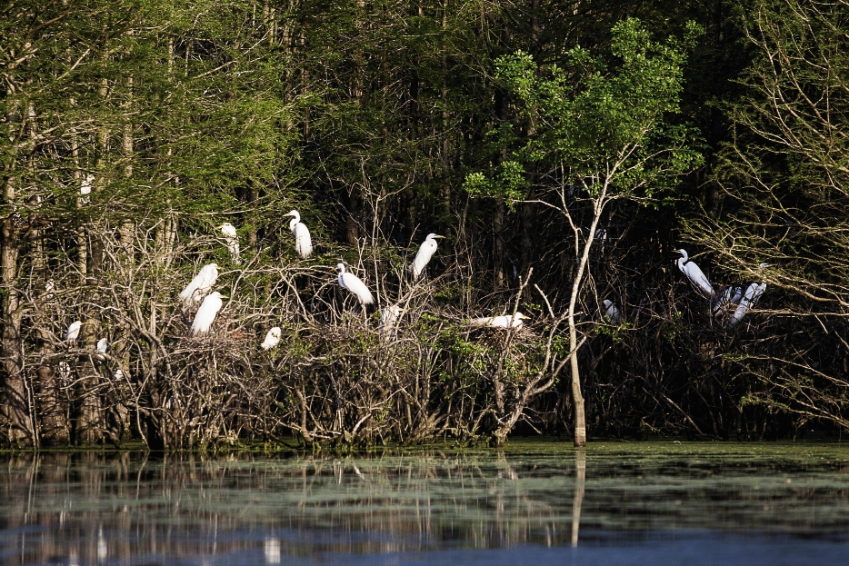Great Egrets wait patiently for their curious visitors to paddle past.
