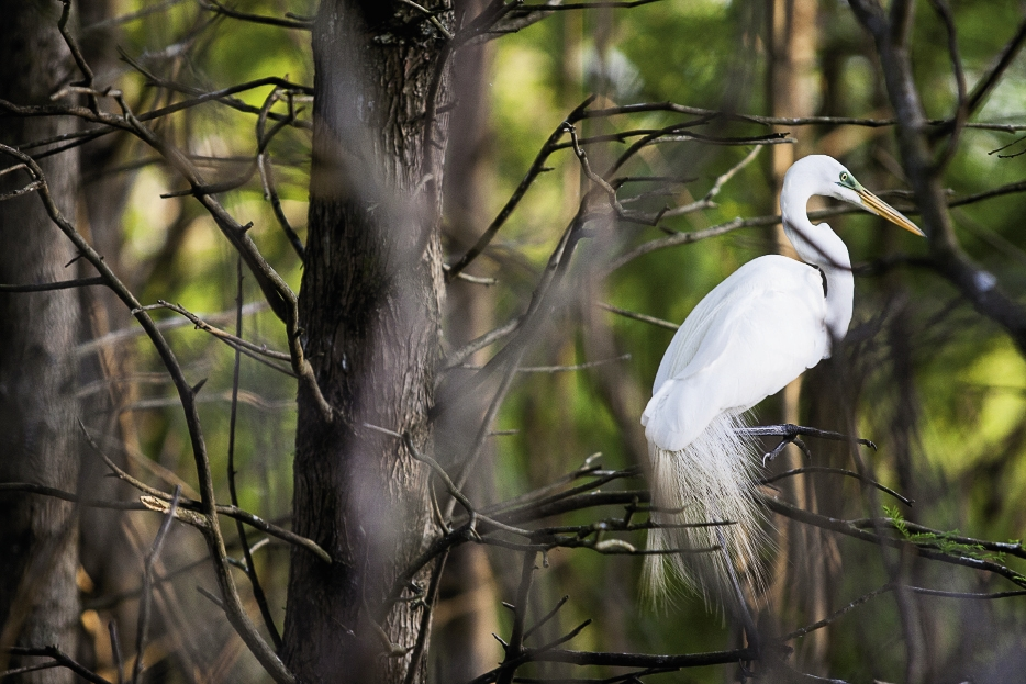 A great egret pretends not to notice the intruders as it sits stoically near its nest.