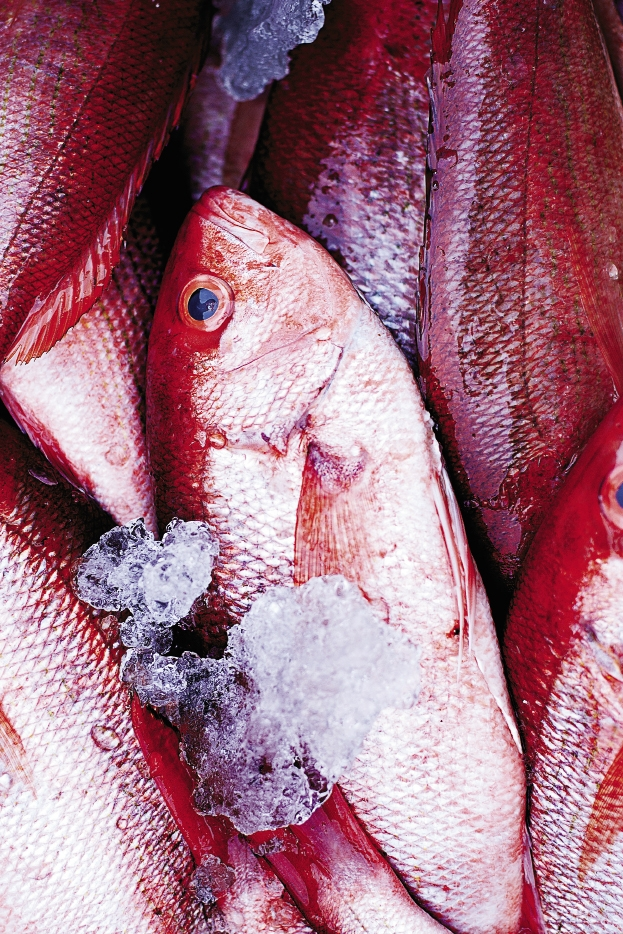 Snapping it Up: The commercial red snapper fishing season reopened for a week, September 17–24. During the commercial season, the daily trip limit is 50 pounds of gutted fish with no minimum size limit.