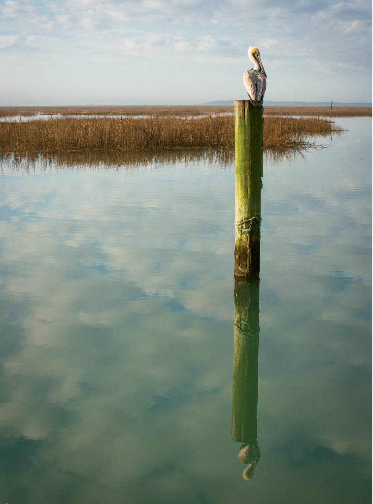 Even a Pelican Reflect  Photographer: Ben Coy  Where: Murrells Inlet