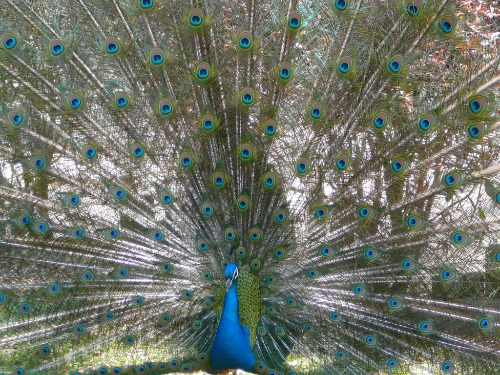 Pretty as a Peacock, Photographer: Kimberly Bailey, Where: Waccatee Zoo