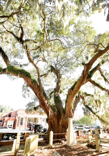 One of Conway's many Live Oaks, which stand as sentinels over small cemeteries where families and war dead are interred, dating back to the American Revolution.