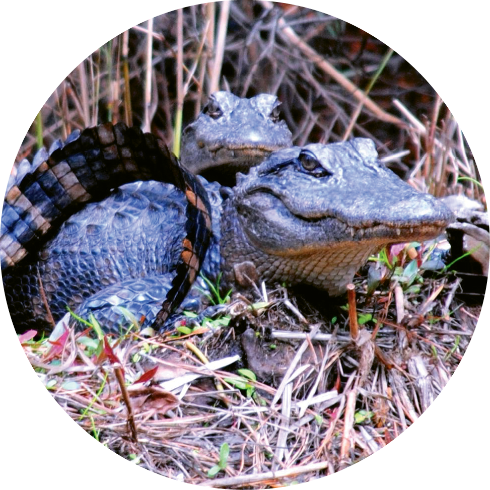 Many alligators also call Tom Yawkey  Wildlife Center home.