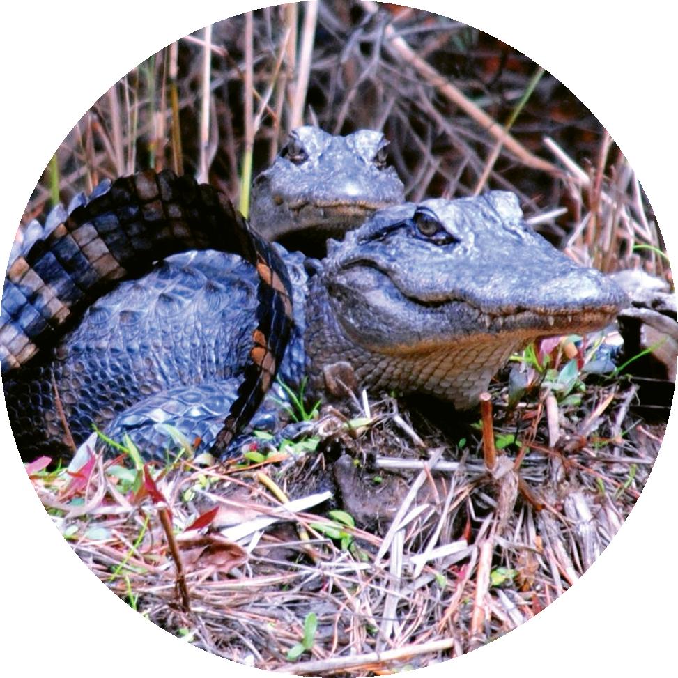 Many alligators also call Tom Yawkey  Wildlife Center home.