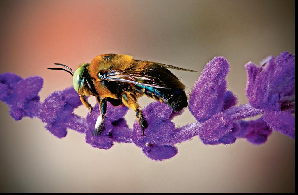 Carpenter Bee on Purple Flower  Photographer: Thomas J. Baccari  Where: Brookgreen Gardens
