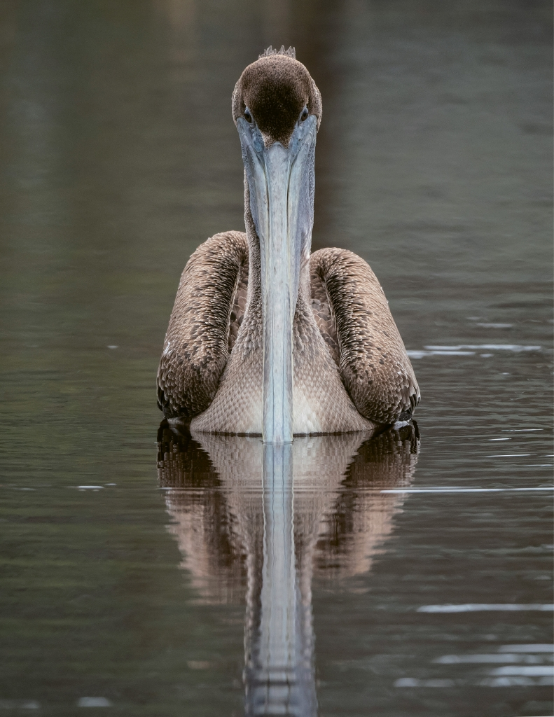 Pelican With Reflection - George DeCamp - Huntington Beach State Park, Murrells Inlet
