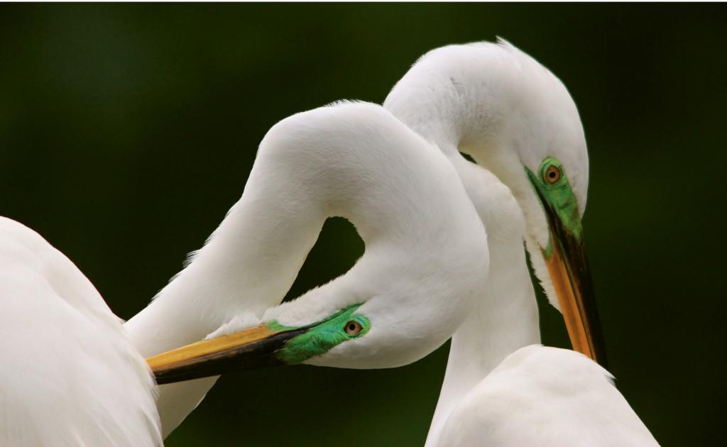 Egret Mates - Paulette Thomas - Waccatee Zoo, Myrtle Beach