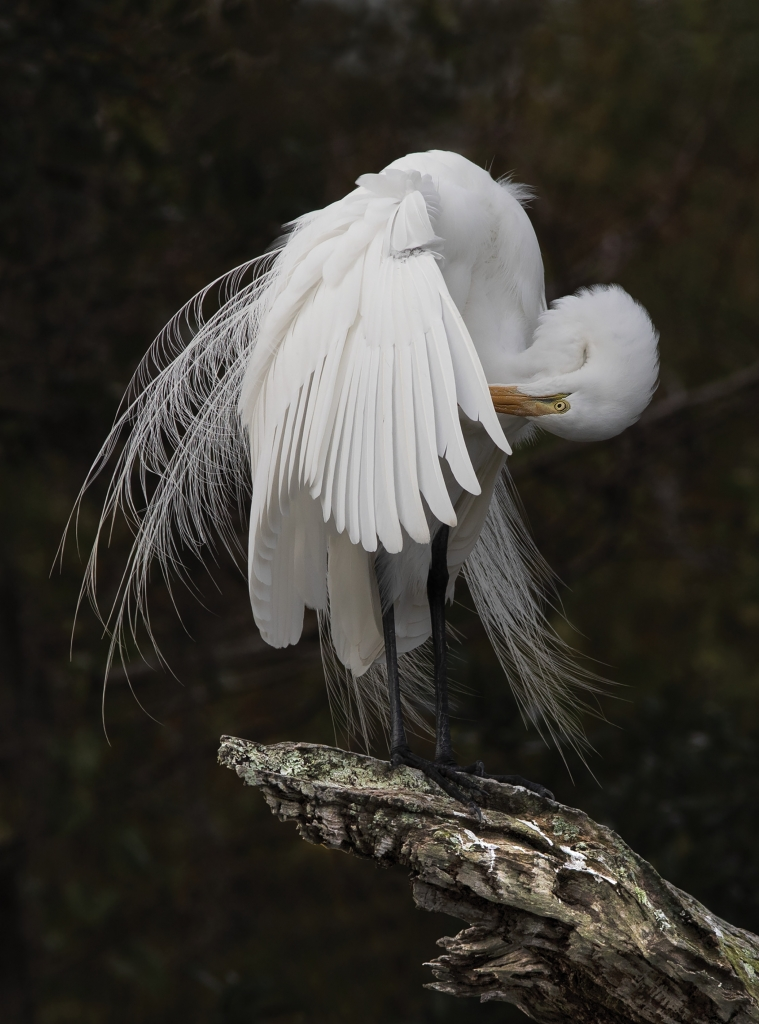 Shy Egret - Vicky Stroupe - Murrells Inlet