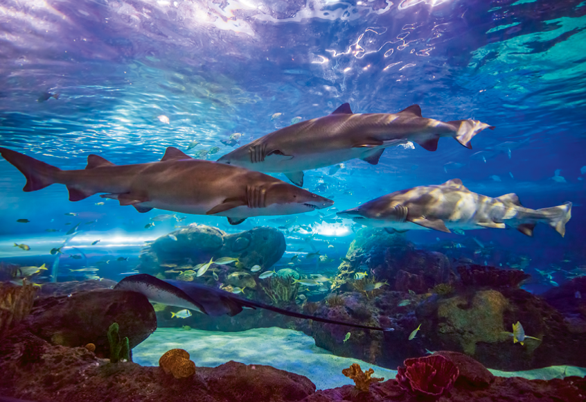 Sharks, most of them indigenous to our region, lazily glide through the water in the Dangerous Reef.