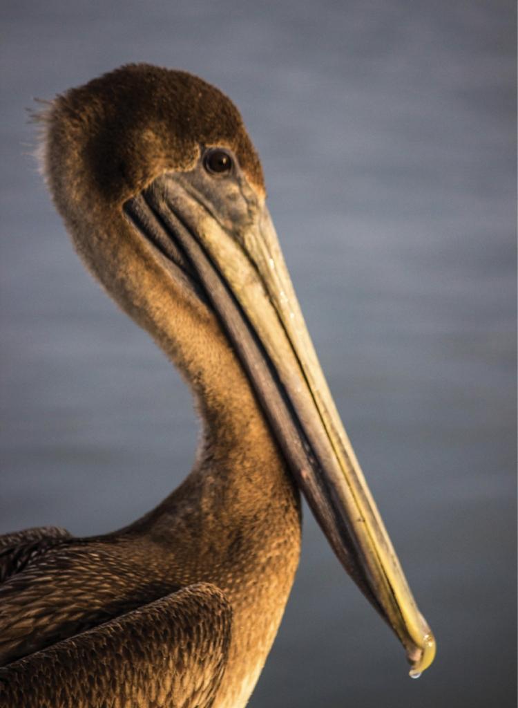 Pelican Profile - Amy Vincent - Crazy Sister Marina, Murrells Inlet