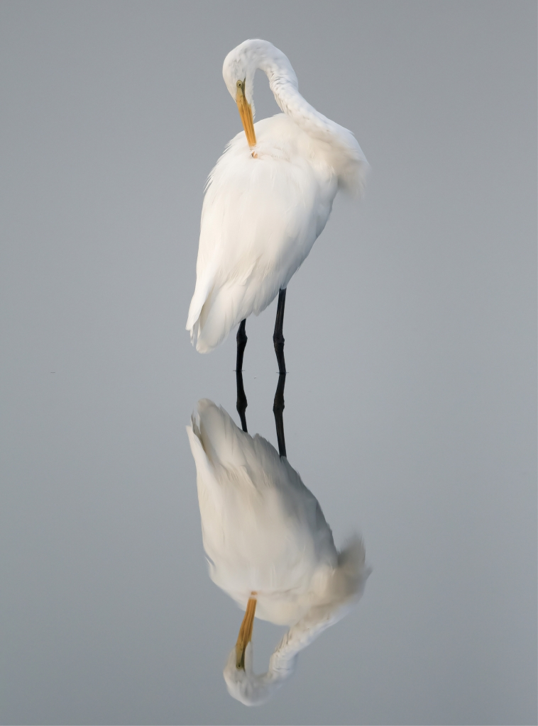 Great Egret with Reflection - George DeCamp - Huntington Beach State Park, Murrells Inlet