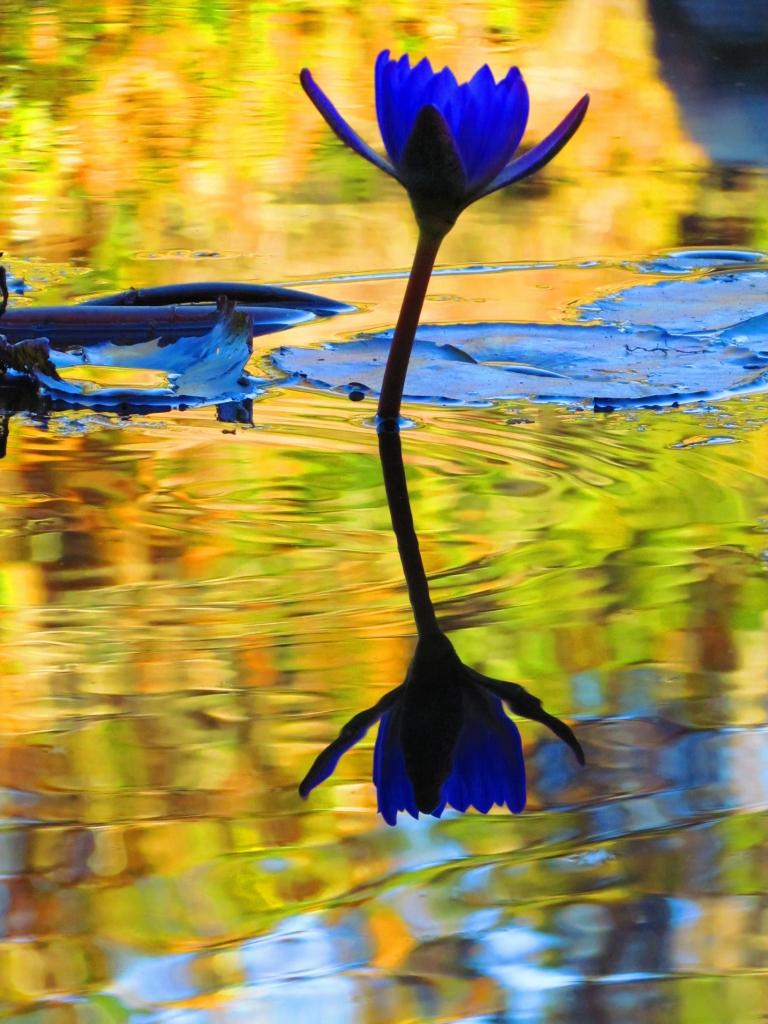 Lily Pond Reflection, Photographer: Holly Macom, Where: Brookgreen Gardens