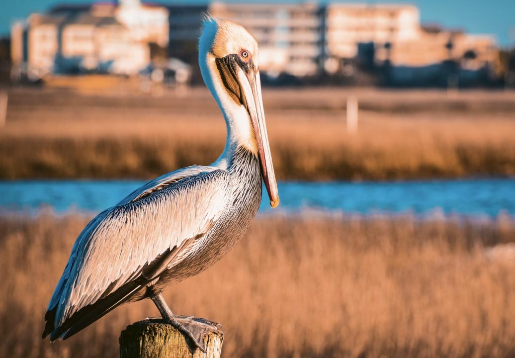 Pelican - Ryan Santmyer - MarshWalk, Murrells Inlet