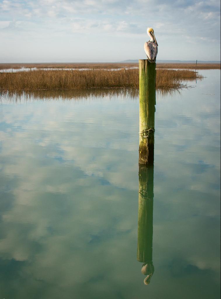 Even a Pelican Reflect  Photographer: Ben Coy  Where: Murrells Inlet