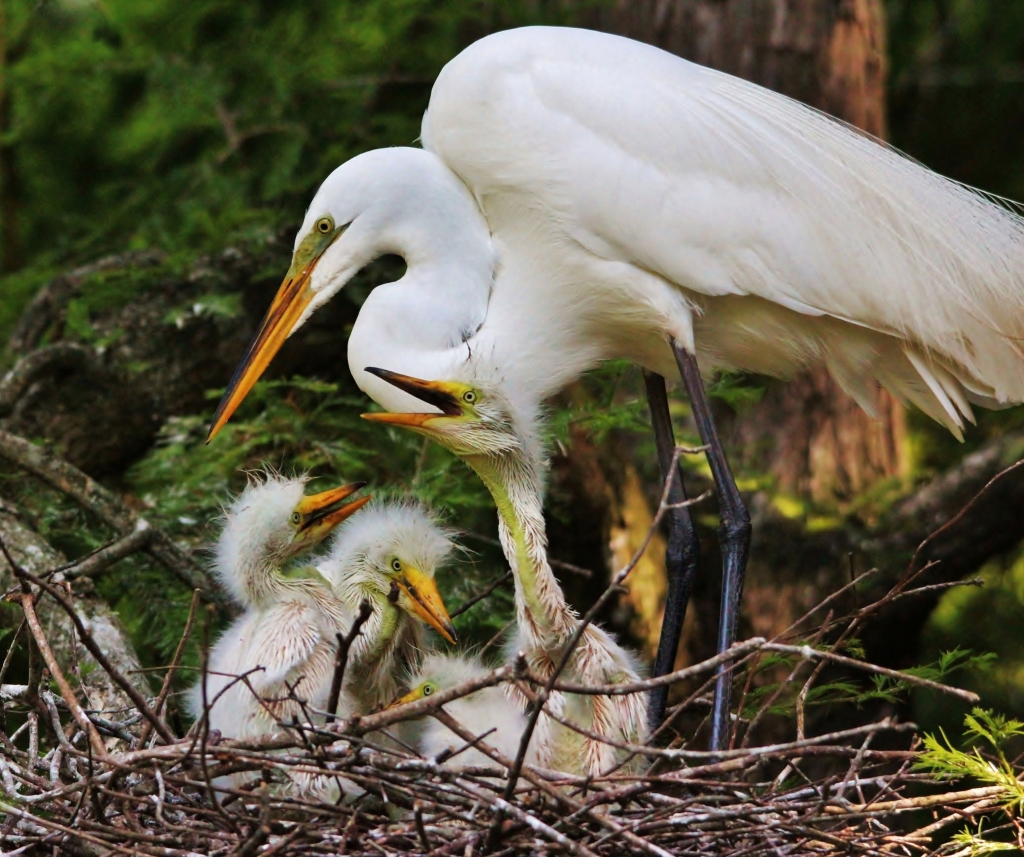 Mama Egret with Babies, Photographer: Paulette Thomas, Where: Waccatee Zoo