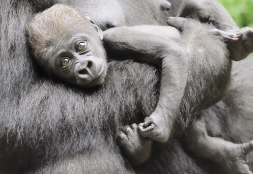"This has been a banner year for babies born to the North Carolina Zoo, the largest natural habitat zoo in the world. Established in 1974, the zoo is celebrating ""40 wild years"" in 2014."