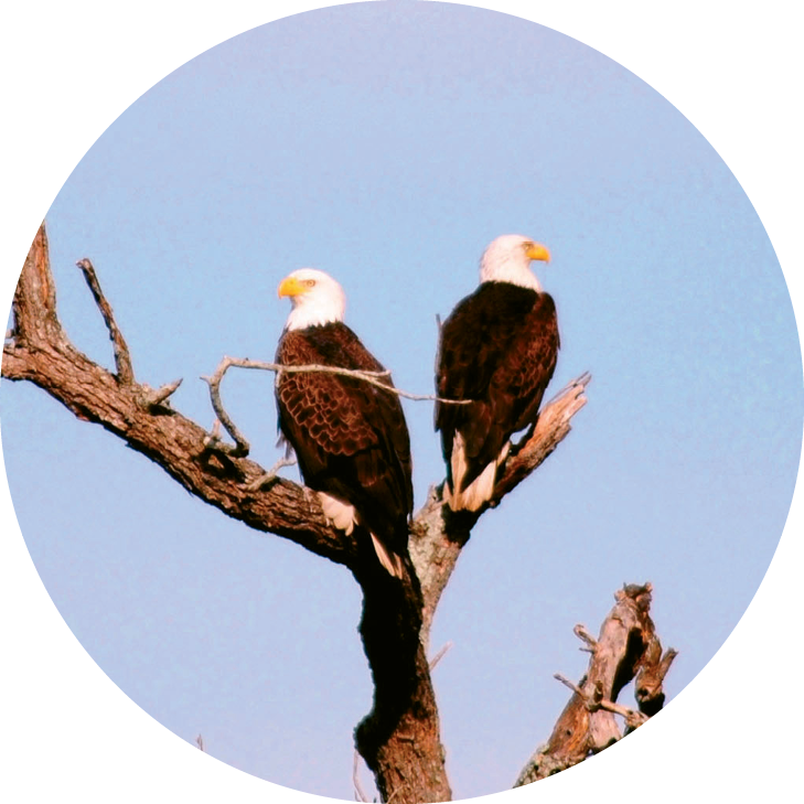 Bald eagles  are just a few of the many birds found at the center.