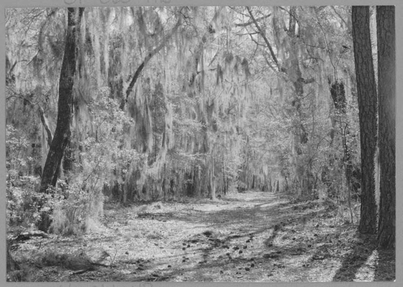 In a 1973 photo by Lewis Riley, a road courses through an area of higher elevation at Hobcaw.