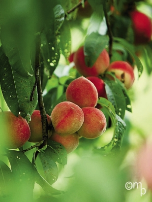 You can pick your own berries and fruits at Millstone Creek Orchards. There is nothing sweeter and juicier than one of these peaches plucked from the tree. Bring along lots of napkins!